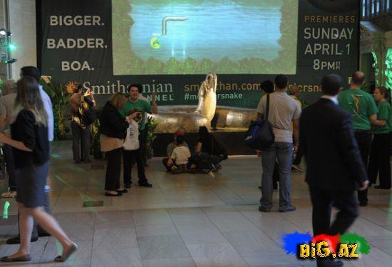 """Dünyanın ən nəhəng ilanı vağzalda """"yuva"""" qurub (Foto, Video)"""