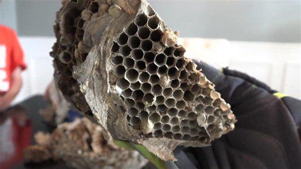 Arı yuvasını kəsdilər və içindən çıxanlar - FOTOLAR